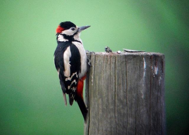 Great spotted woodpecker male11